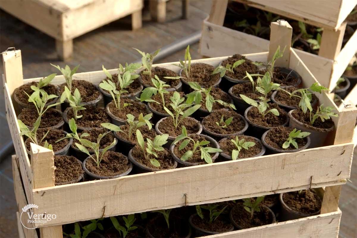 Agrosaveti---proizvodnja-rasada---Celarevo---03