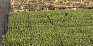 Agrosaveti---proizvodnja-rasada---Celarevo---04