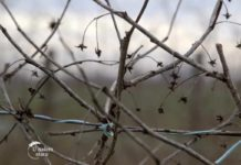 Agrosaveti---uzgoj-maline---03