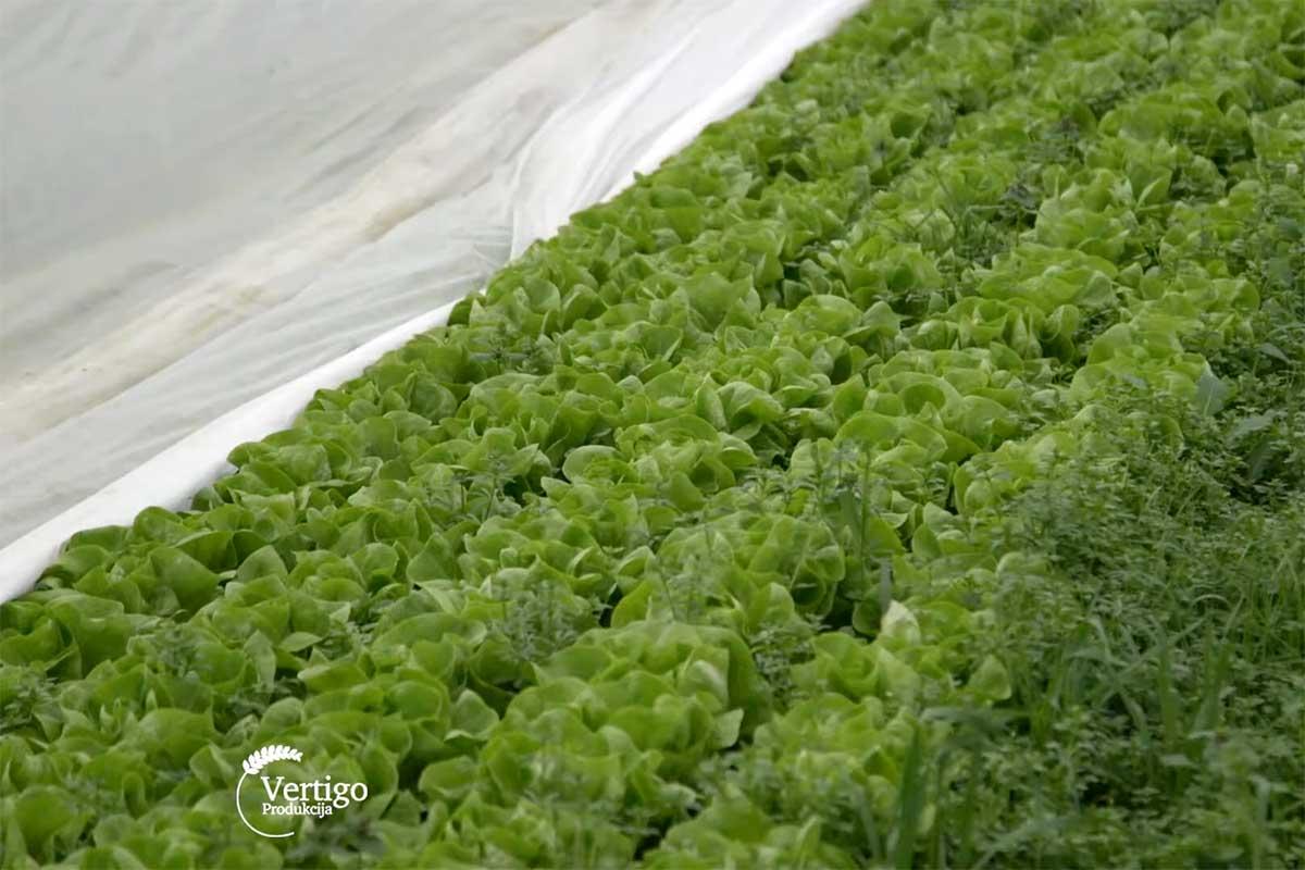 Agrosaveti---zelena-salata---01