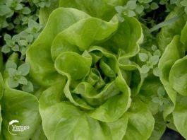 Agrosaveti---zelena-salata---02