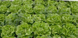 Agrosaveti---pijaca - zelena-salata---03