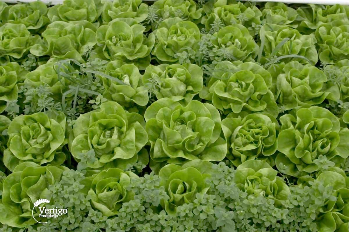 Agrosaveti---zelena-salata---03