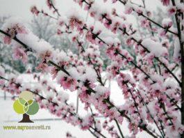 Breskva-u-cvetu-pod-snegom,-agrosaveti