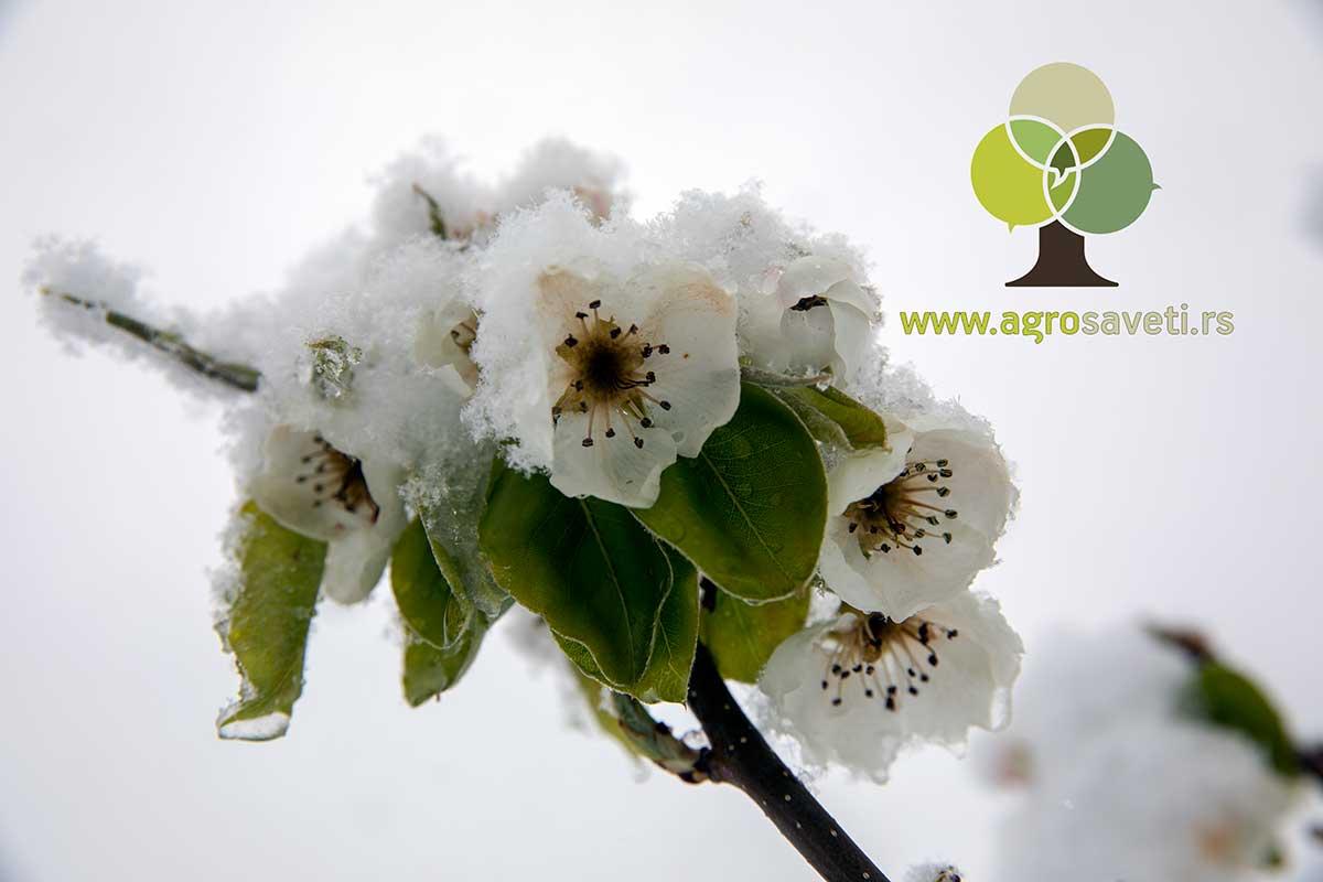Kruska-u-cvetu-pod-snegom,-Agrosaveti