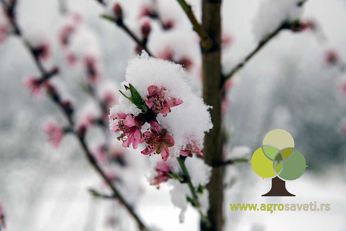 Nektarina-u-cvetu-pod-snegom,-Agrosaveti