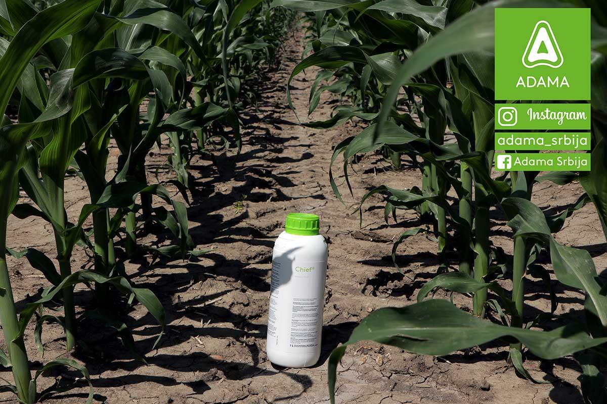 Agrosaveti---Adama---kukuruz---korovi---Chief---Nicogan---palamida---sirak