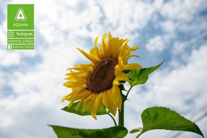 Agrosaveti---Adama---suncokret---Racer---Agil---Leopard---Diler---korovi-03