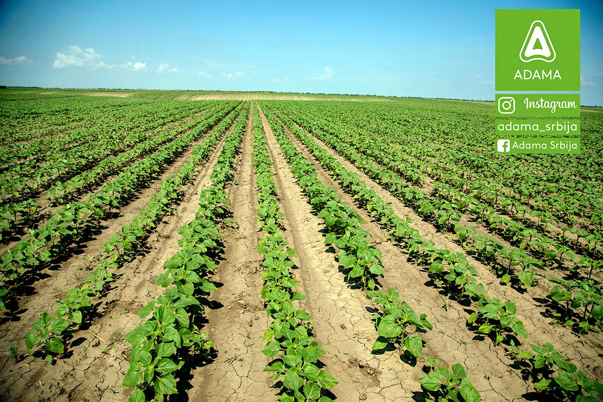 Agrosaveti---Adama---suncokret---Racer---Agil---Leopard---Diler---korovi