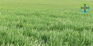 Agrosaveti---Bayer---zastita-psenice----01