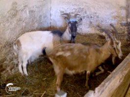 Agrosaveti---farma-koza---Mladenovov---03