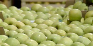 Agrosaveti---izvoz-jabuke---01