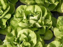Agrosaveti---povrtari---salata---02