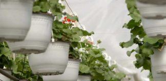 Agrosaveti---proizvodnja-cveca---Drenovac---02