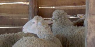 Agrosaveti---umaticene-ovce---01
