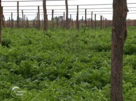 Agrosaveti---uzgoj-lekovitog-i-zacinskog-bilja---Bavaniste---02