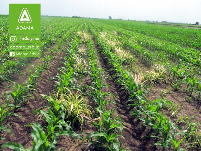 Agrosaveti---Adama---kukuruz---korovi---Sulcotrek---Nicogan---palamida---ambrozija---sirak-03