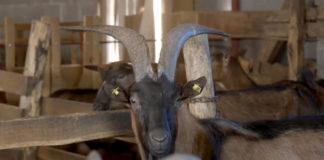 Agrosaveti---farma-koza---prerada-mleka---03