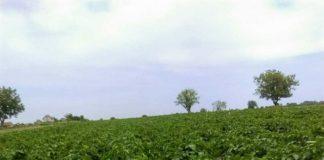 Agrosaveti---mladi-krompir---Glogonj---01