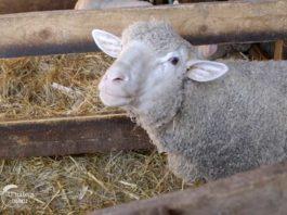 Agrosaveti---ovce--Il-de-France---Obrovac---01