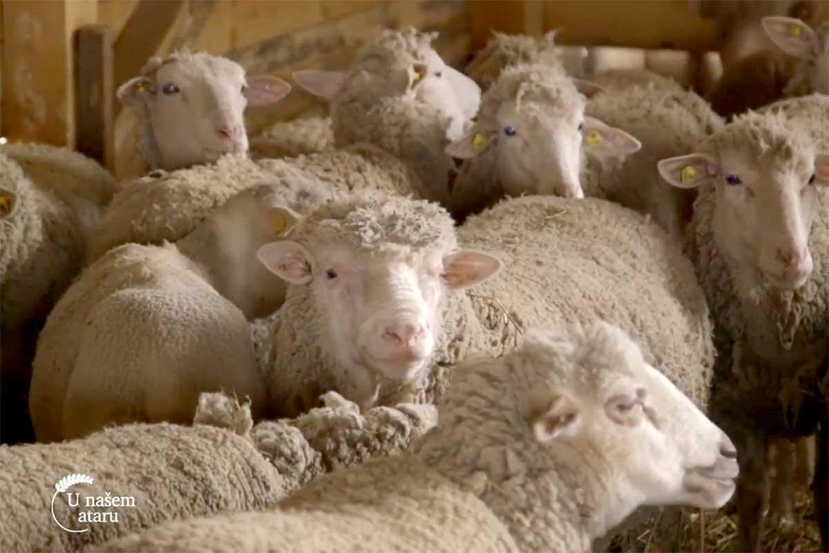 Agrosaveti---ovce---il-de-frans---Ljig---02