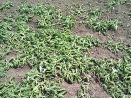 Agrosaveti---palamida-posle-tretmana-S