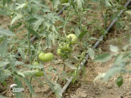 Agrosaveti---proizvodnja-povrca---Donje-Zleginje---paradajz---01