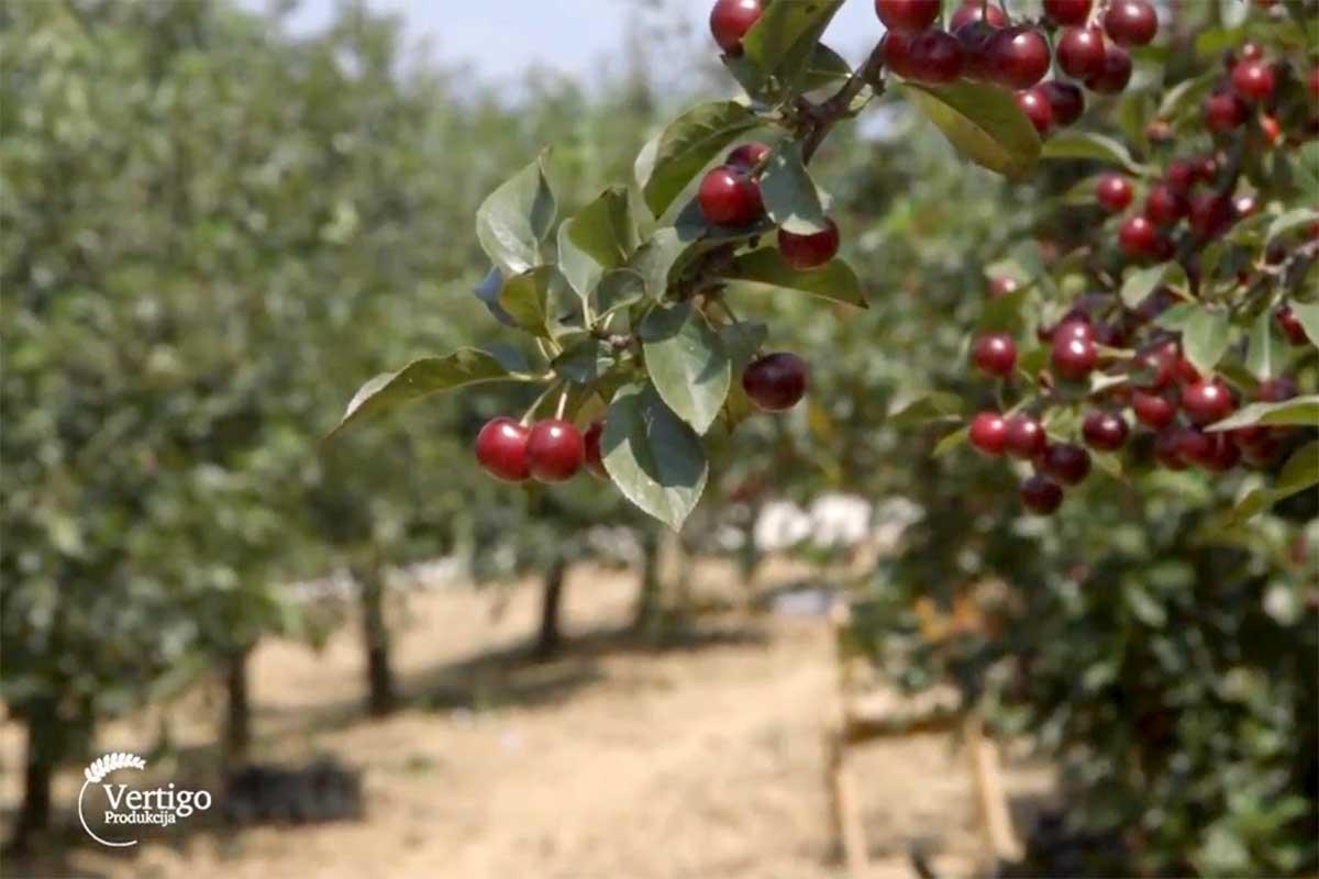 Agrosaveti---visnja---sljiva---malina---grozde---Drenca---03