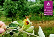 Agrosaveti---Adama---jabuka---Lascar-100-EC---jabukin-smotavac---insekticid