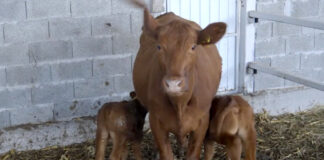 Agrosaveti---Angus-goveda---01