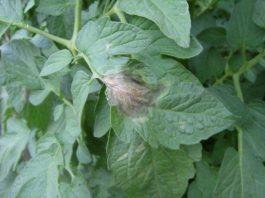 Agrosaveti---Galenika-Fitofarmacija---Plamenjaca-paradajza-S