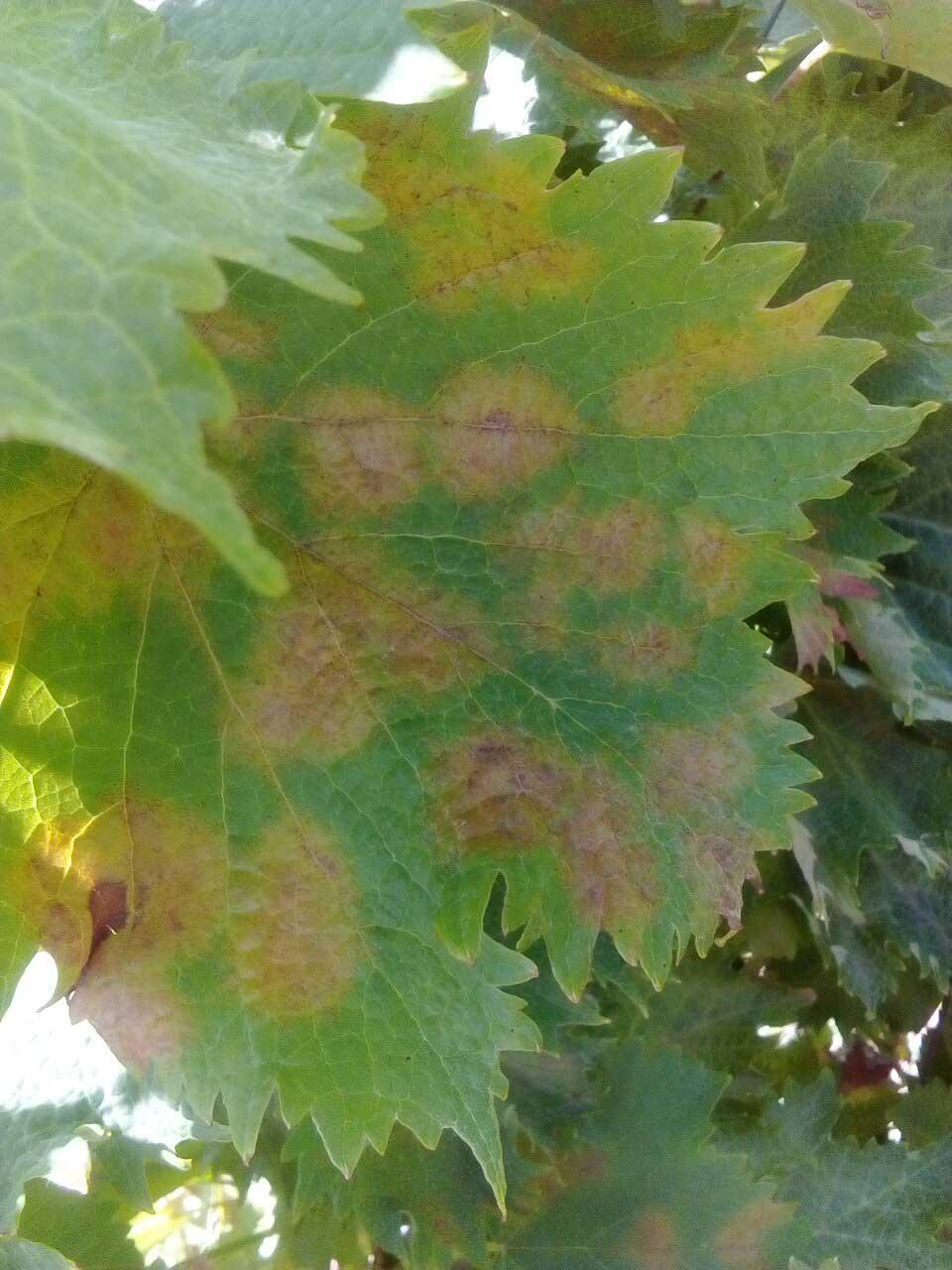 Agrosaveti---Galenika-Fitofarmacija---Plamenjaca-vinova-loza