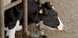 Agrosaveti---Holstajn---grla---krave---mleko---Glusci---01