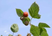 Agrosaveti---Timac-Agro---ishrana-maline---02