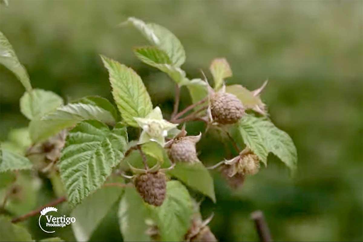 Agrosaveti---Timac-Agro---pravilna-ishrana-maline---01