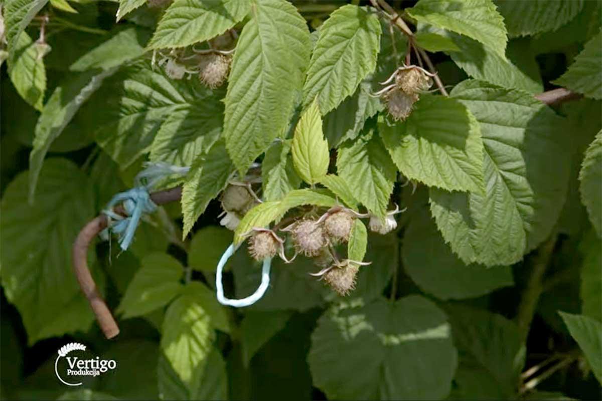 Agrosaveti---Timac-Agro---pravilna-ishrana-maline---02