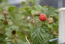 Agrosaveti---Timac-Agro---pravilna-ishrana-maline---03