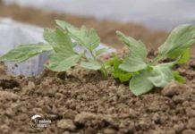 Agrosaveti---organska-proizvodnja-paradajza---03