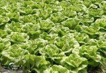 Agrosaveti---plastenicka-proizvodnja-povrca---Ruma---02