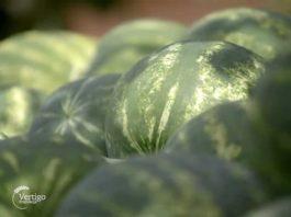Agrosaveti---proizvodnja-bostana---paprika---vrane---05