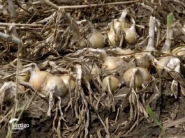 Agrosaveti---proizvodnja-luka---Silbas---03