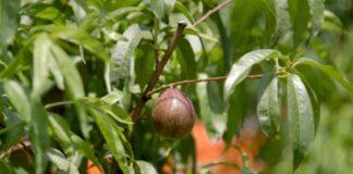 Agrosaveti---proredjivanje-plodova---nektarine---01