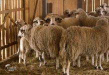 Agrosaveti---sjenicka-ovca---Ljig---ovcja-kobasica---02