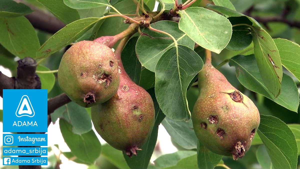 Agrosaveti---Adama---jabuka---kruska---ostecenja-od-grada---led---merpan---neoram-02