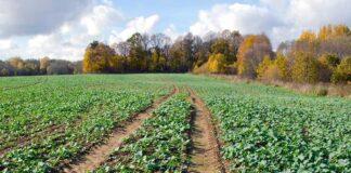 Agrosaveti---Adama---uljana-repica---Kalif-Mega---posle-setve---pre-nicanja---herbicid-01