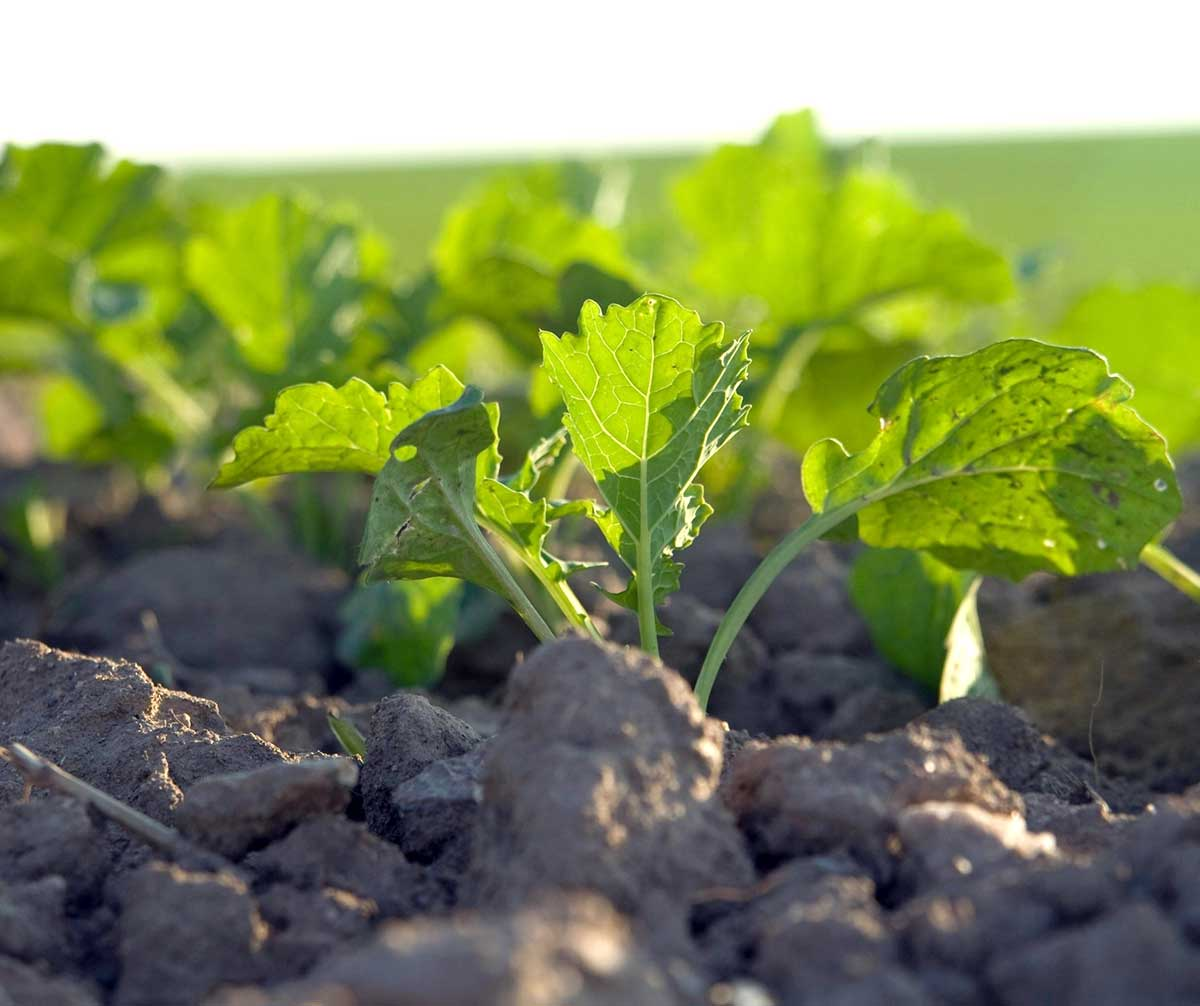 Agrosaveti---Adama---uljana-repica---Kalif-Mega---posle-setve---pre-nicanja---herbicid-02