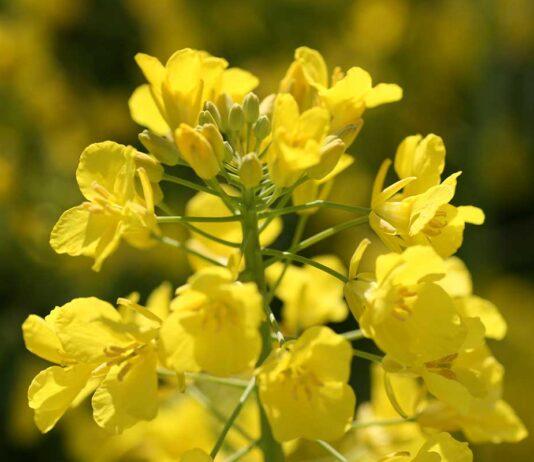 Agrosaveti---KWS---uljana-repica---02