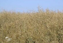 Agrosaveti---ZZ-Beska---uljana-repica---02