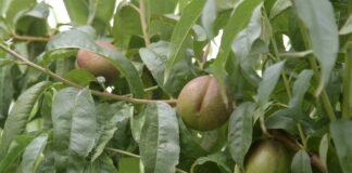 Agrosaveti--berba-breskve---Novi-Slankamen---02