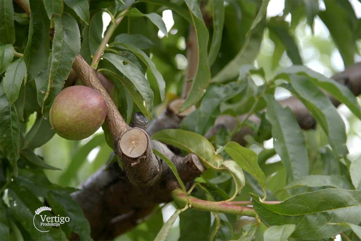 Agrosaveti--berba-breskve---Novi-Slankamen---03